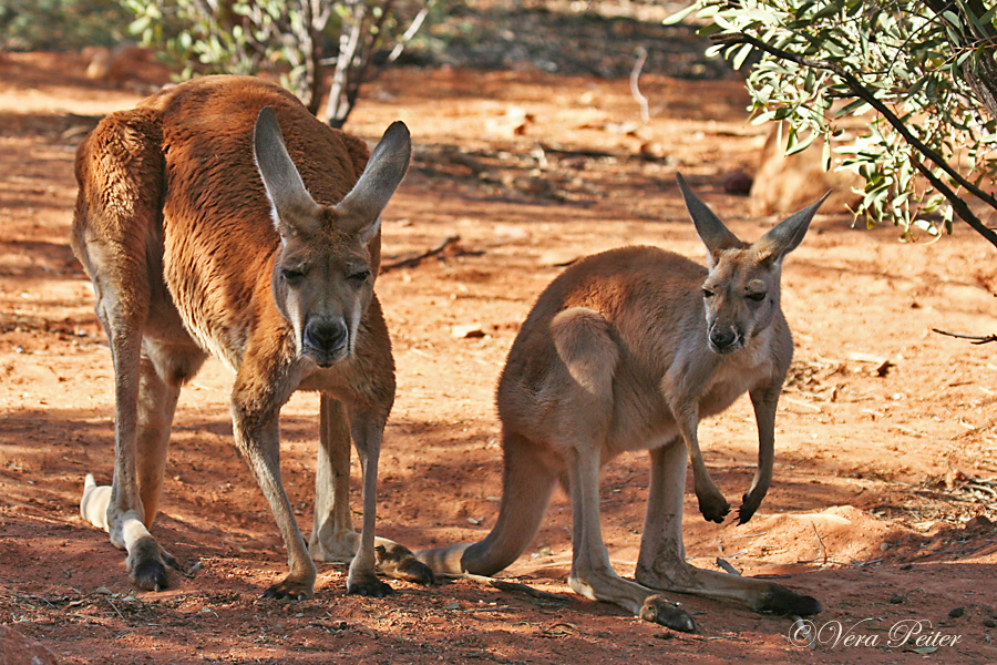 Känguru Männchen